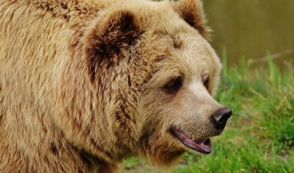 Защо мечките ще спасят черешите, но не и ябълките