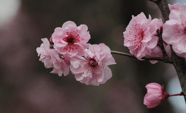 Къде в Япония може да видите цъфтящите вишневи градини