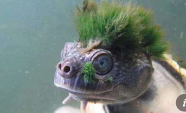Зеленокосата костенурка, която диша през гениталиите си