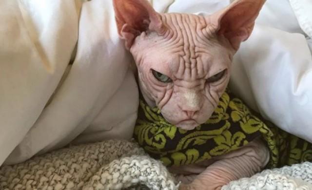 Локи, или най-сърдитата котка на света