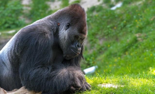 Как позира горила за селфи
