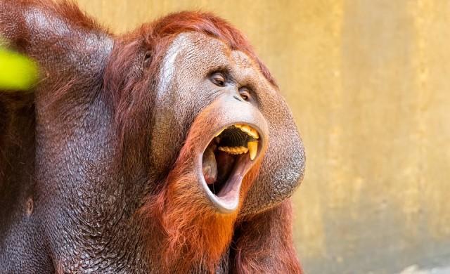 Орангутанът, който си мие ръцете по-добре от теб (видео)