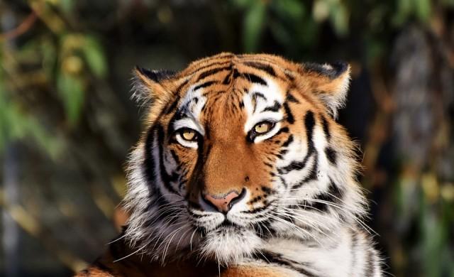 Човек зарази тигър с коронавирус в зоопарк в Ню Йорк