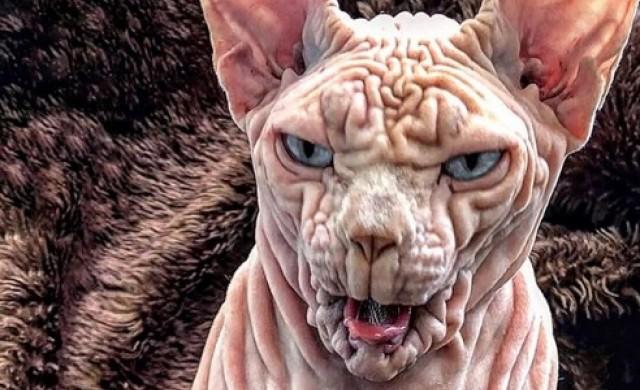 Джердан - най-страшната котка в света (снимки)