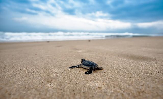 Редки морски костенурки завзеха плажовете на Тайланд (снимки)