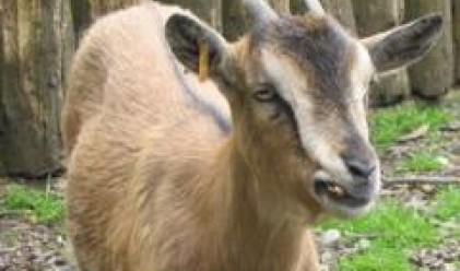 Приключи пролетното преброяване на дивеча, чувствителен ръст при муфлона