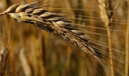 Повишеното предлагане причина за поевтиняването на пшеницата до деветмесечно дъно