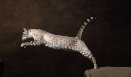 Десетте най-скъпи котки