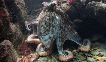 Октоподите превземат океаните