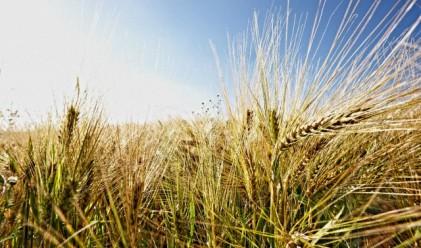 Изнасят ударно българска пшеница