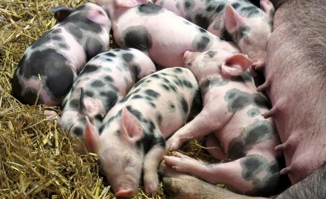 Китайски компании инвестират в многоетажни свинеферми