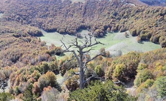 Къде е най-старото дърво в Европа?
