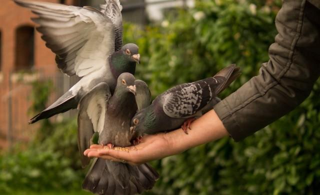 Как да реагираме, ако гълъб влезе в жилището ни?