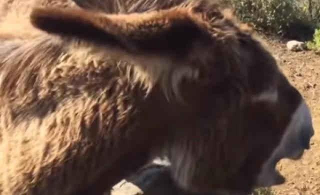 Мъж се събра с магарето си след двумесечна раздяла (видео)