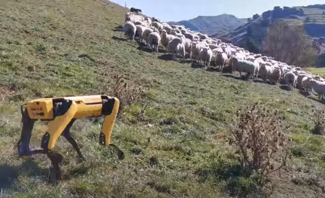 Кучетата-роботи вече могат да пасат овце
