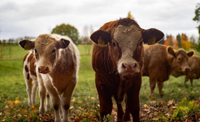 Обичат ли кравите класическа музика?
