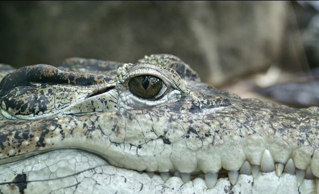 Нашествие на алигатори в САЩ и Канада