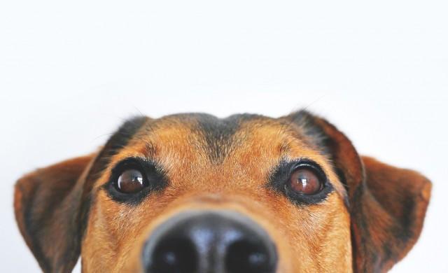 Кучета надушват COVID-19 в потта с точност близка до тази на PCR тестовете