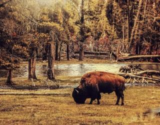 В САЩ набират доброволци за избиване на бизони