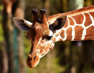 Приспаха най-възрастния жираф в Европа