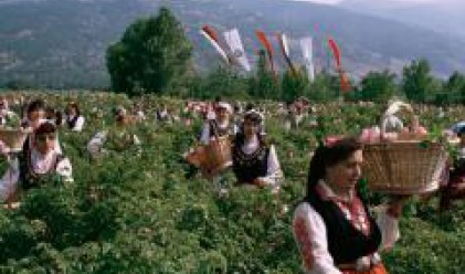 Цената на българското розово масло стигна 5500 евро килограма
