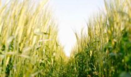 Европейските фермери ще засеят повече площи със зърнени култури тази година