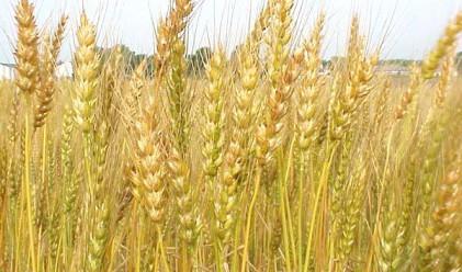 Пшеницата може да поскъпне с 20%