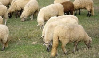 Дъжд от овце валя в Австралия