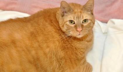 Най-дебелата котка в света