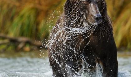 Мъж бе изненадан неприятно от мечка, нападнала го в джакузито му