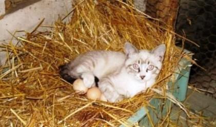 Котка мъти яйца