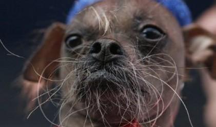 Избраха новото най-уродливо куче в света
