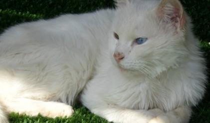 Конкурс за мис най-красива котка