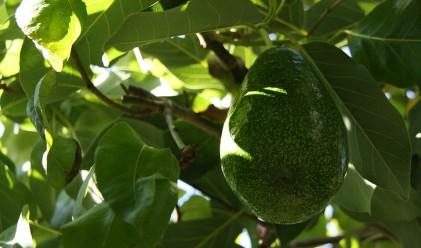 Този плод отключи престъпна вълна в Нова Зеландия
