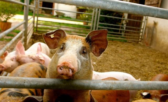 Търговска война: Мексико налага мито върху щатски свински крачета