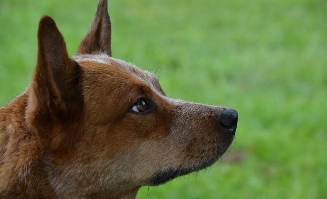 Това куче струва 17 000 долара