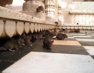 Плъхове с големината на котки атакуваха шведски град