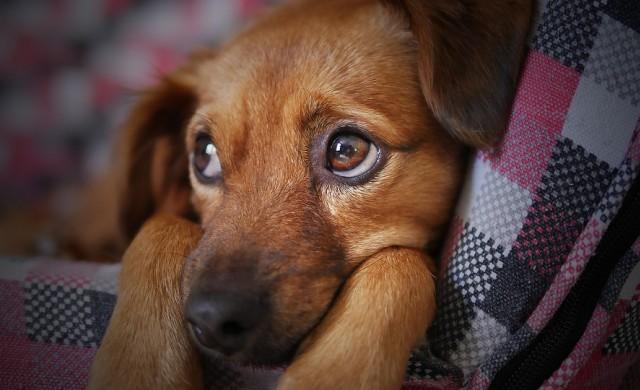 Кучешките очи са еволюирали, така че да се харесват на хората