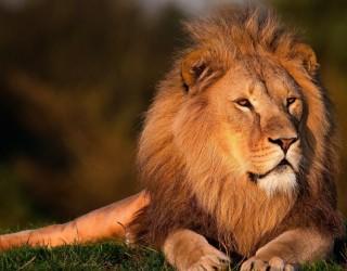 Това е най-смешното бягство на лъв от зоопарк в света (видео)