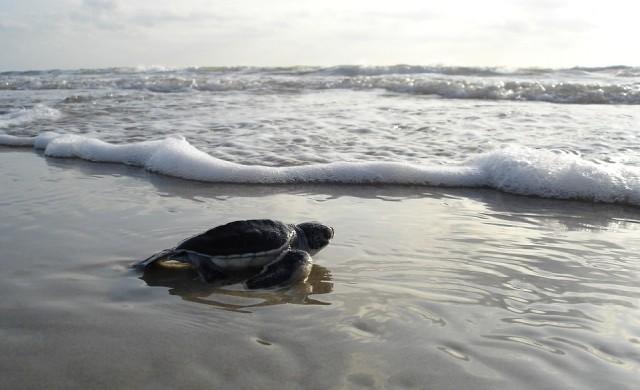 Невероятни кадри показват над 60 хиляди плуващи морски костенурки