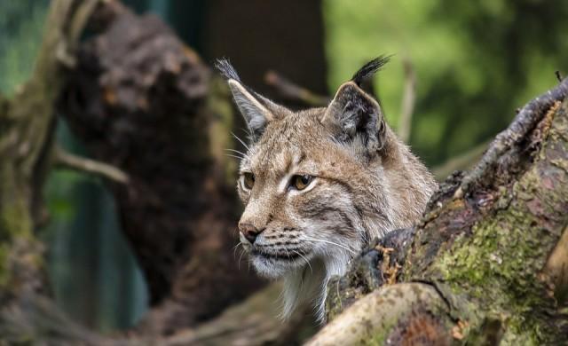 Критично застрашени рисове се родиха в Софийския зоопарк