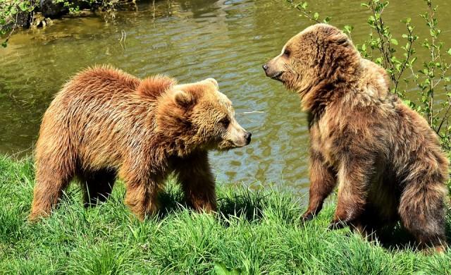 Тийнейджърка избута мечка с голи ръце, за да защити кучетата си (видео)