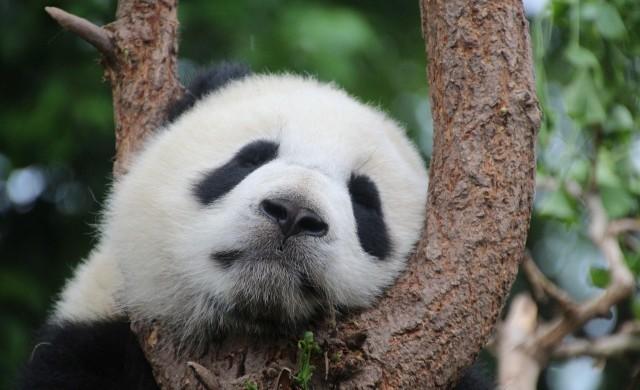 Рядко явление: Панда роди близнаци в зоологическа градина (видео)