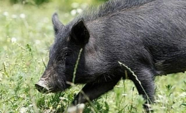 България на път да загуби уникална стара порода свиня