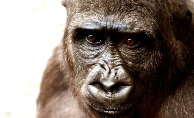 Видео с горили, изненадани от змия, събра милиони гледания в TikTok (видео)