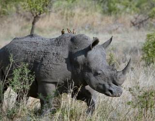 Откриха нов вид древен носорог - по-тежък от 4 слона и по-висок от жираф