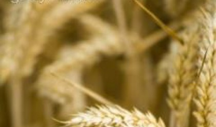 Резултатите от направените изследвания на пшеницата я определят с добро качество