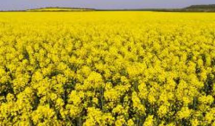 Рекордно количество рапица отглеждат земеделци в Плевенско тази година