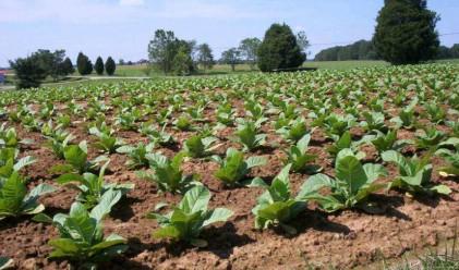 Заявили сме до 143 млн. лв. пред ЕК за тютюнопроизводство