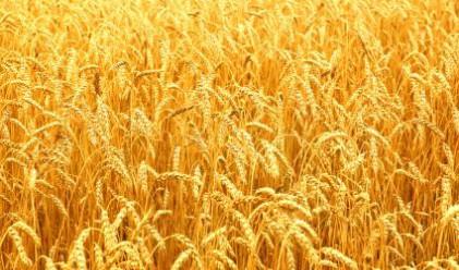 Качеството на пшеницата е влошено почти в цялата страна